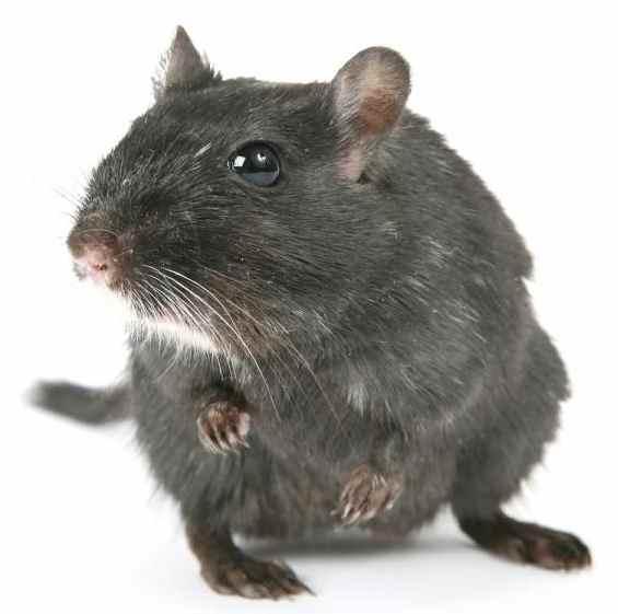 rats transmit diseases